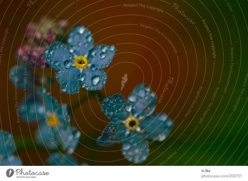 Mäuseohr Umwelt Natur Wasser Wassertropfen Frühling Pflanze Blume Wildpflanze Vergißmeinnicht Wiese Blühend Duft frisch schön klein nass natürlich blau gelb