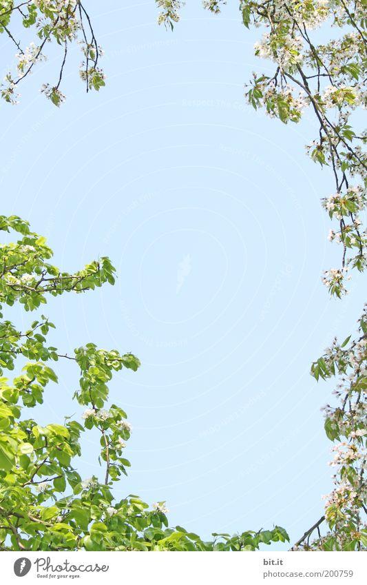 Frühlingsgrüße 2 Umwelt Natur Pflanze Himmel Wolkenloser Himmel Baum Blüte Ornament Blühend schön blau grün rosa Frühlingsgefühle Kirschbaum Kirsche