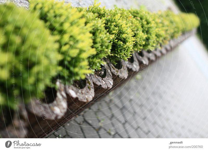 Einfach Hecke grün Pflanze Umwelt Sträucher Häusliches Leben Grenze Reihe diagonal Parkplatz Tiefenschärfe Grünpflanze Topfpflanze