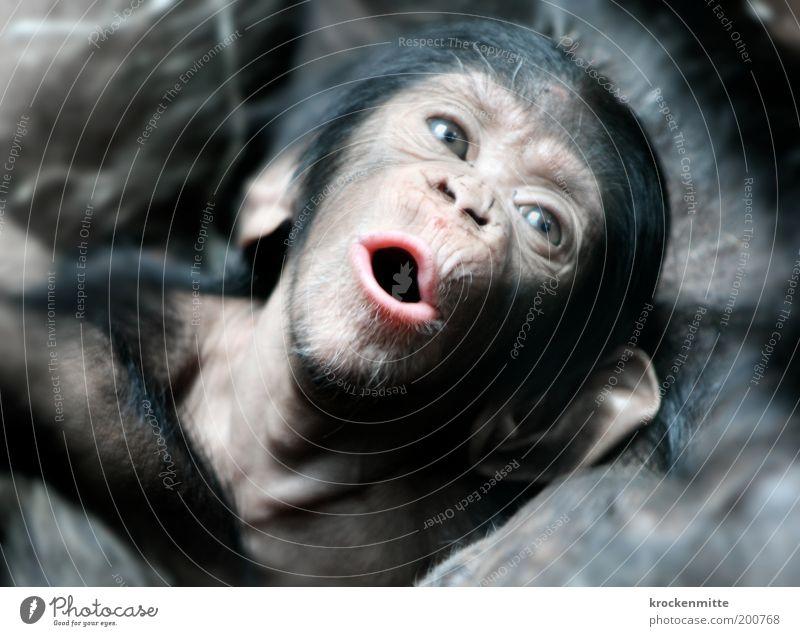 Gib dem Affen Zucker Tier Wildtier Tiergesicht Fell Zoo Schimpansen 1 Tierjunges Freude Geborgenheit Warmherzigkeit Sympathie Zusammensein Liebe Tierliebe Auge