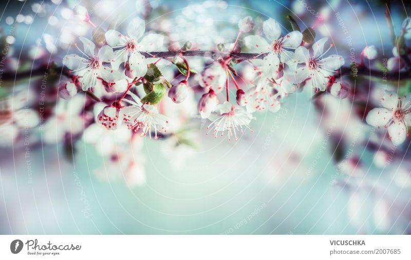Wunderschöne Frühlingsblüte vom Kirschbaum Design Garten Natur Pflanze Himmel Sonnenlicht Sommer Schönes Wetter Baum Blume Blatt Blüte Park Blühend blau rosa
