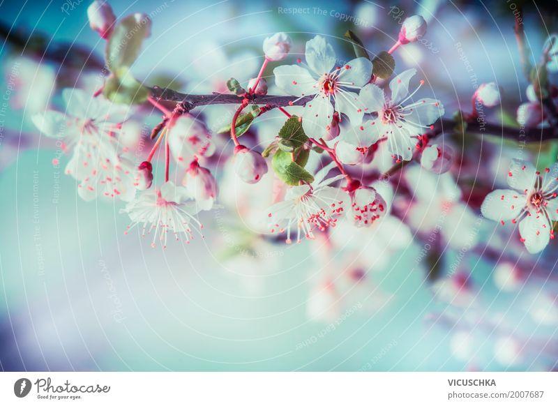 Kirschblüte, Nahaufnahme Design Sommer Garten Natur Pflanze Frühling Schönes Wetter Baum Blume Blatt Blüte Park Blühend weich rosa Frühlingsgefühle Duft