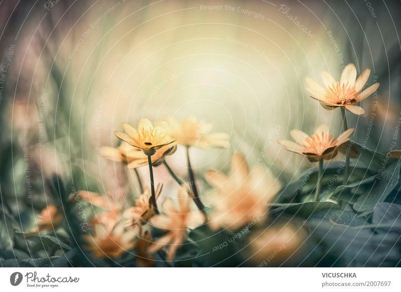 Gelbe Frühlingsblühen im Wald Design Garten Natur Landschaft Pflanze Herbst Schönes Wetter Blume Blatt Blüte Park Blühend gelb Hintergrundbild Scharbockskraut
