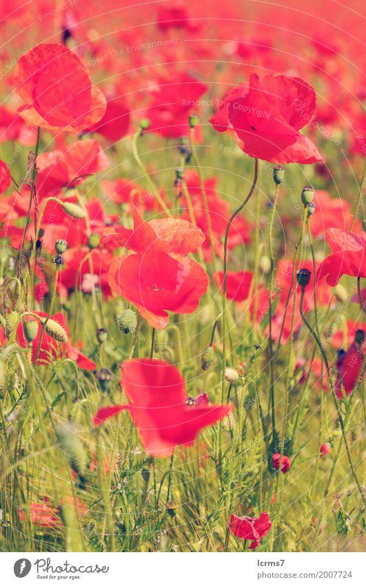 poppy field in summertime. vintage retouch Natur Sommer grün rot