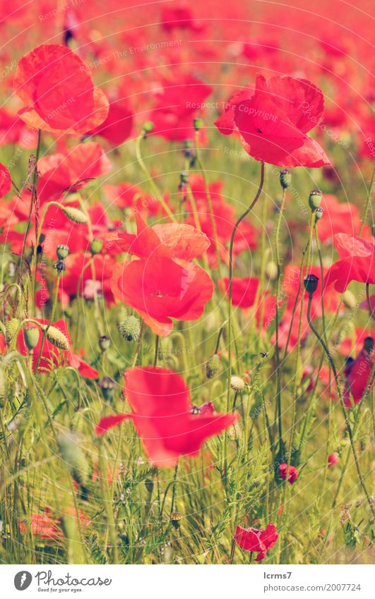 poppy field in summertime. vintage retouch Sommer Natur grün rot poppies red flower sky flowers sun landscape green agriculture sunny bloom countryside Farbfoto