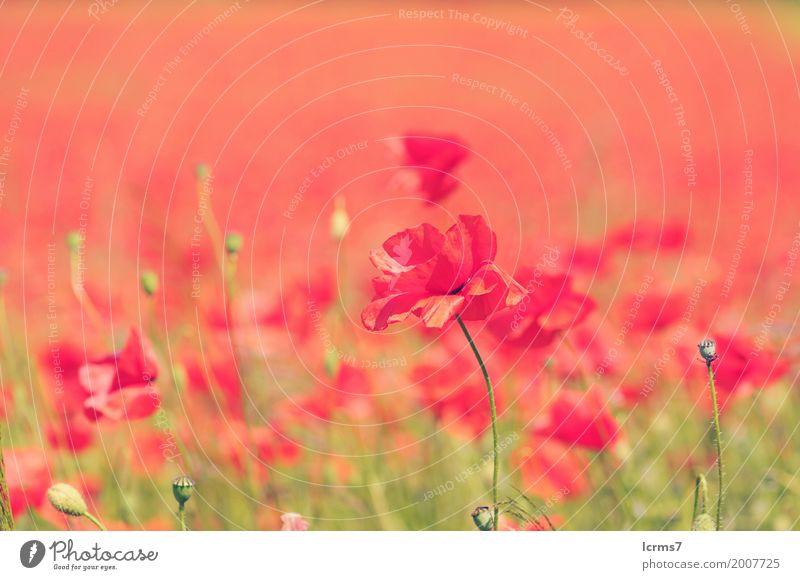 poppy field in summertime. vintage retouch Natur Sommer Zufriedenheit