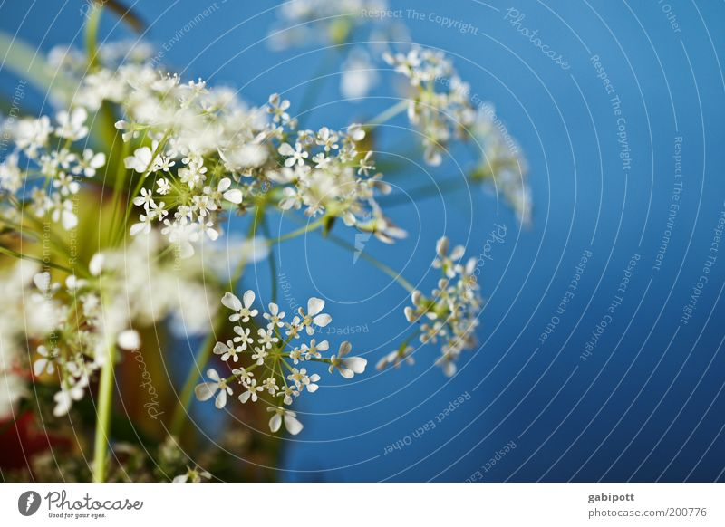 Fake weiß Blume blau Pflanze Farbe Blüte Frühling Dekoration & Verzierung Sauberkeit einzigartig Duft positiv Grünpflanze Wildpflanze