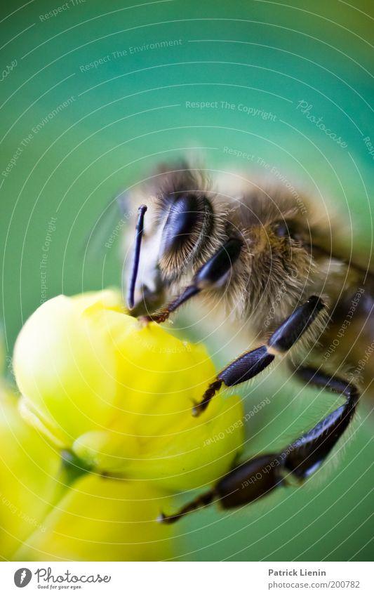 lecker Nektar! Natur Tier Pflanze Blüte Wiese Tiergesicht 1 Biene gelb Fühler anschaulich Facettenauge Farbfoto Nahaufnahme Detailaufnahme Makroaufnahme