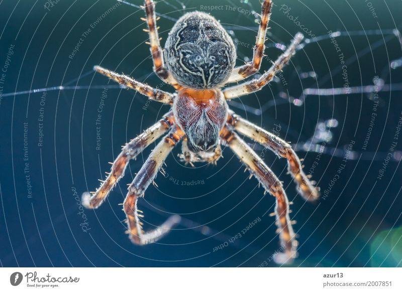 Big arachnid spider in its spiderweb waiting silent for victims Natur alt blau Sommer schön weiß Tier Winter dunkel schwarz Umwelt Traurigkeit Herbst Frühling