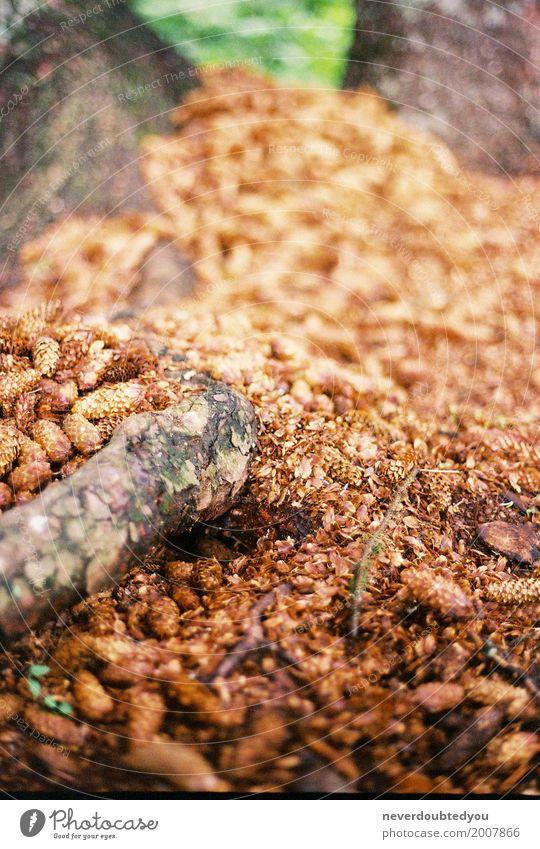 Weicher Fokus-kleiner Pinecoon Background Dekoration & Verzierung Umwelt Natur Pflanze Herbst Baum Blatt Wildpflanze Wald Wachstum natürlich weich Umweltschutz