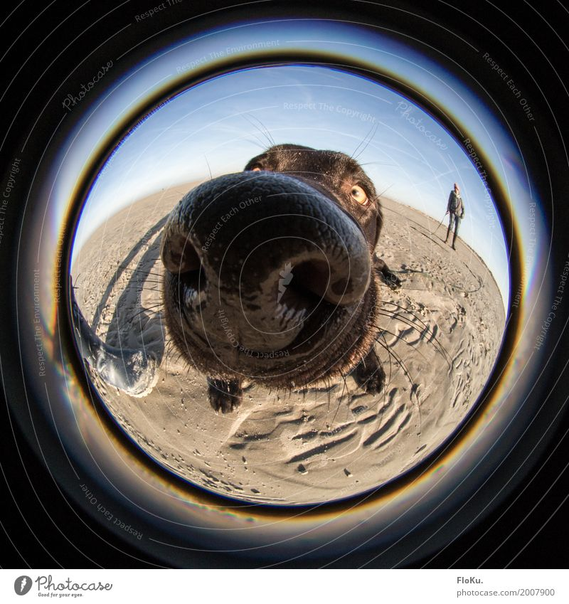 Schnüffel schnüff Nase Natur Sand Wolkenloser Himmel Sonne Schönes Wetter Strand Nordsee Tier Haustier Hund 1 groß nass rund blau braun schwarz Neugier Geruch