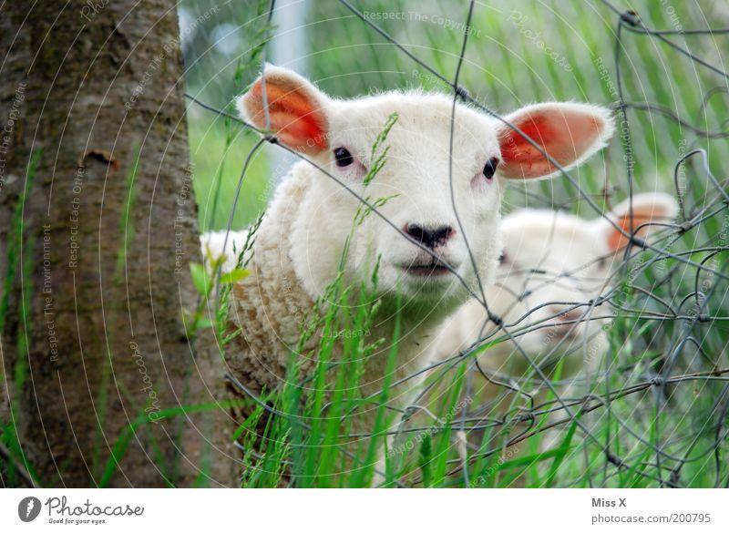 KNAST Natur Frühling Sommer Baum Gras Tier Nutztier 2 Tiergruppe Herde Tierjunges Tierfamilie weich Schüchternheit Neugier Lamm Schaf Zaun Drahtzaun verstecken