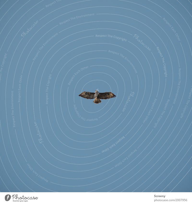 Overwatch Natur Sommer Tier Frühling Vogel fliegen Luft Wildtier Flügel beobachten Gelassenheit Wolkenloser Himmel Wachsamkeit Schweben geduldig achtsam