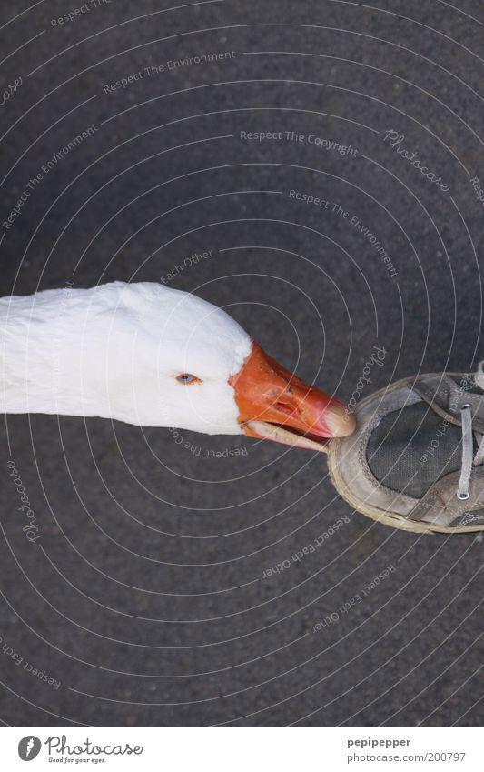 autsch Mensch weiß Tier Kopf Fuß Schuhe Vogel Wut berühren Appetit & Hunger Turnschuh Fressen Schnabel Aggression Gans füttern