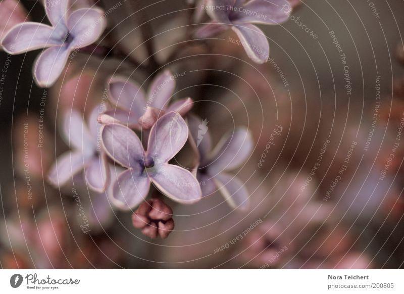Fliederzauber III Natur Pflanze Frühling Sommer Sträucher Blüte Wildpflanze Fliederbusch Blütenknospen Blühend Wachstum frisch neu blau violett rosa Stimmung