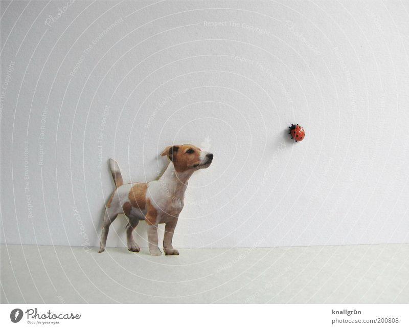 Begegnung Tier Haustier Hund Marienkäfer 2 beobachten krabbeln Blick stehen braun rot schwarz weiß entdecken Neugier Perspektive skurril Kunststoff Terrier