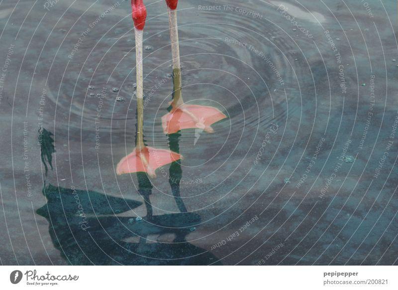 kalte füße Wasser blau ruhig Tier See rosa Tierfuß elegant Wassertropfen nass stehen Schwimmen & Baden Gelassenheit unten Teich standhaft