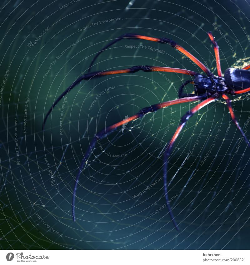 nephila Umwelt Natur Tier Spinne 1 geduldig Angst Entsetzen Nephila inaurata madagascariensis Spinnennetz erschrecken gefährlich Farbfoto Außenaufnahme