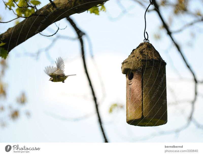 Nisten Natur Luft Himmel Schönes Wetter Baum Tier Wildtier Vogel Meisen 1 fliegen niedlich blau braun grün Leben Schutz Nachkommen Nest Flügel Bewegung Farbfoto