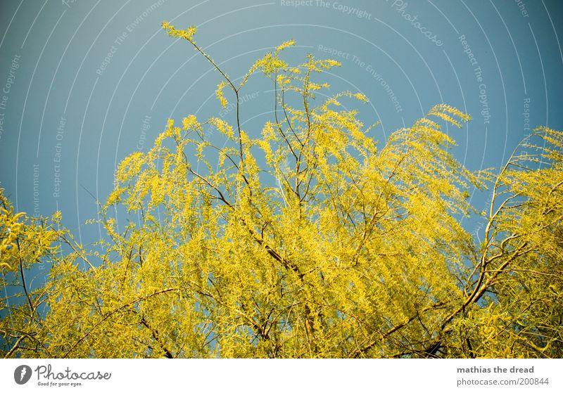 GELBES GRÜN Umwelt Natur Landschaft Pflanze Wolkenloser Himmel Frühling Schönes Wetter Baum Blüte Blühend Wachstum Leben Trauerweide verzweigt Baumkrone