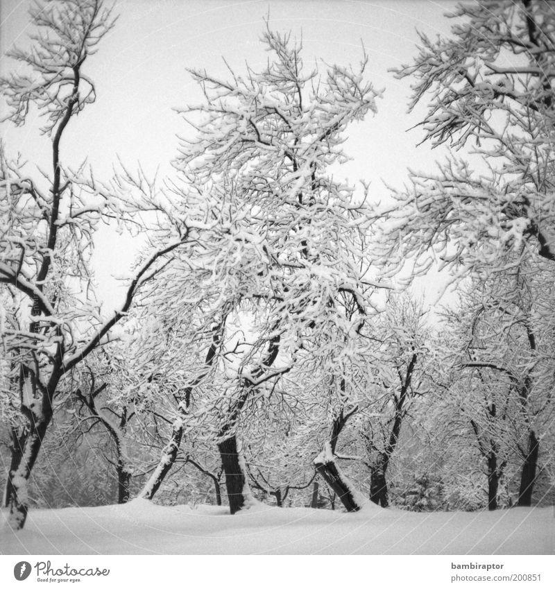 Winterland Umwelt Natur Landschaft Pflanze Klima Wetter Eis Frost Schnee Baum Wald frieren Wachstum alt kalt schön analog eigenwillig Ast Schwarzweißfoto