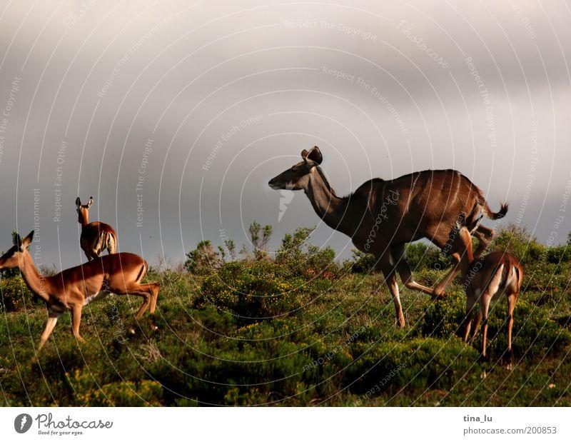 on the run Natur Sommer Freude Ferien & Urlaub & Reisen Tier Leben springen Freiheit Angst rennen Afrika Lebensfreude beweglich Steppe Safari Expedition