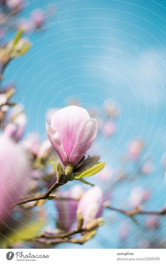 Magnolia Magnoliengewächse Frühling Blüte Blühend Blume Baum schön Natur natürlich Duft Spa Wellness Hintergrundbild Pflanze Wachstum