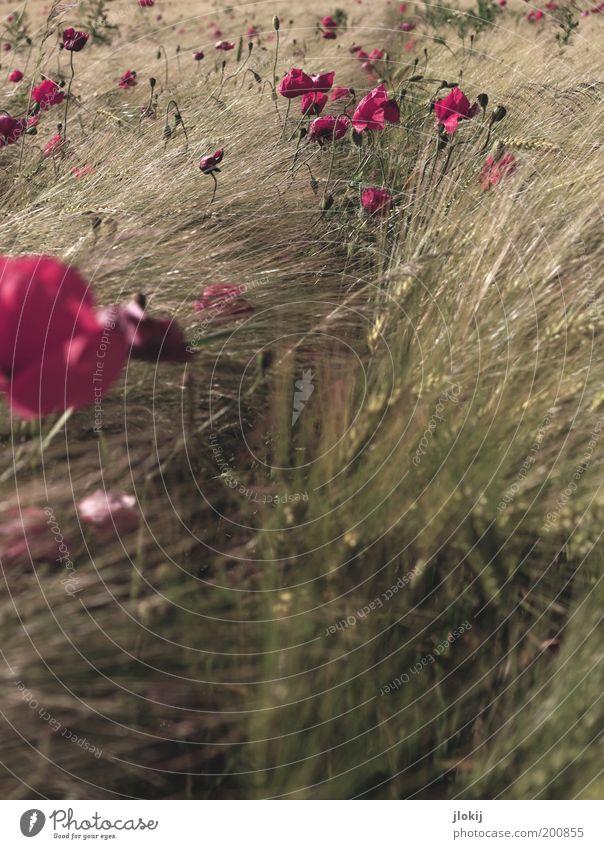 Mohntag (schon wieder) Umwelt Natur Landschaft Pflanze Herbst Schönes Wetter Blume Blüte Grünpflanze Nutzpflanze Wildpflanze Feld Blühend Wachstum Farbfoto