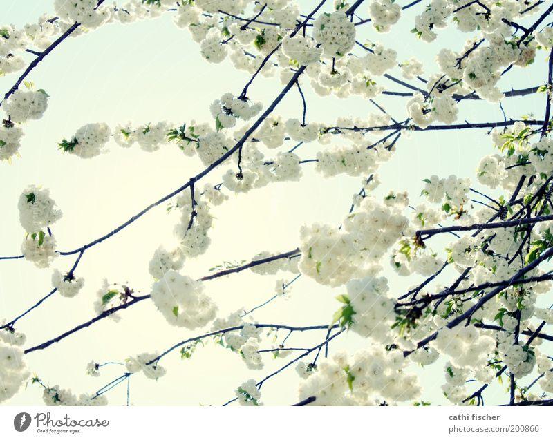 frühling Umwelt Natur Pflanze Himmel Sonne Frühling Schönes Wetter Baum Blüte Kirschbaum Kirschblüten Garten Park exotisch frisch Warmherzigkeit ästhetisch