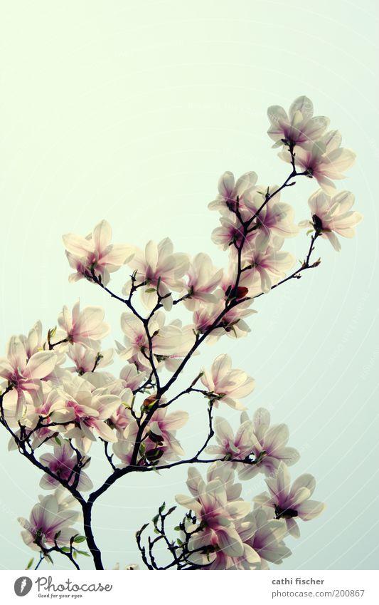 frühling II Umwelt Natur Himmel Frühling Schönes Wetter Pflanze Blüte Magnolienbaum Magnoliengewächse Magnolienblüte Park rosa weiß schön Kitsch Blühend Ast