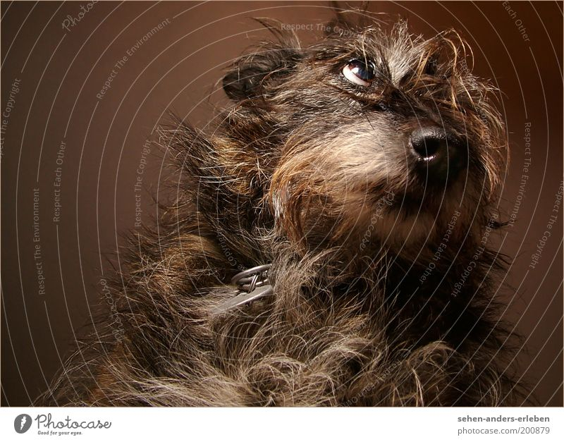 BitteBitte Haustier Hund 1 Tier Blick kuschlig niedlich braun grau Tierliebe Hoffnung Appetit & Hunger Sehnsucht betteln Fell flehen Farbfoto Gedeckte Farben