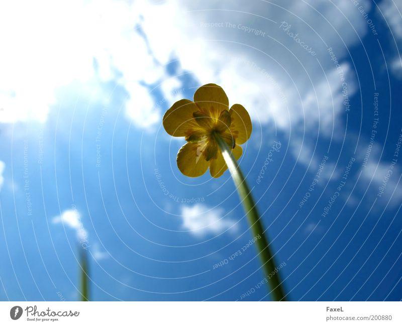 Endlich wieder Sonne Natur Himmel Sonnenlicht Frühling Schönes Wetter Pflanze Blüte Wiese ästhetisch natürlich blau gelb Lebensfreude schön elegant Hoffnung