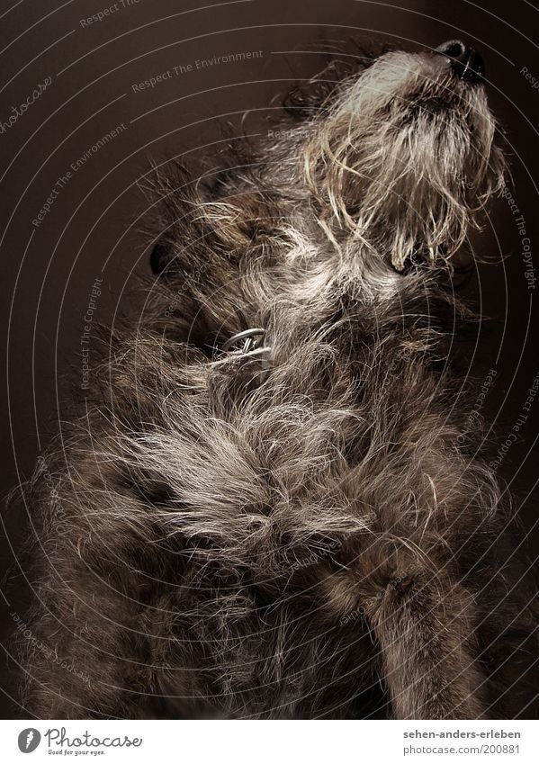 Struppel Tier grau Hund braun Fell Neugier niedlich Haustier kuschlig Froschperspektive