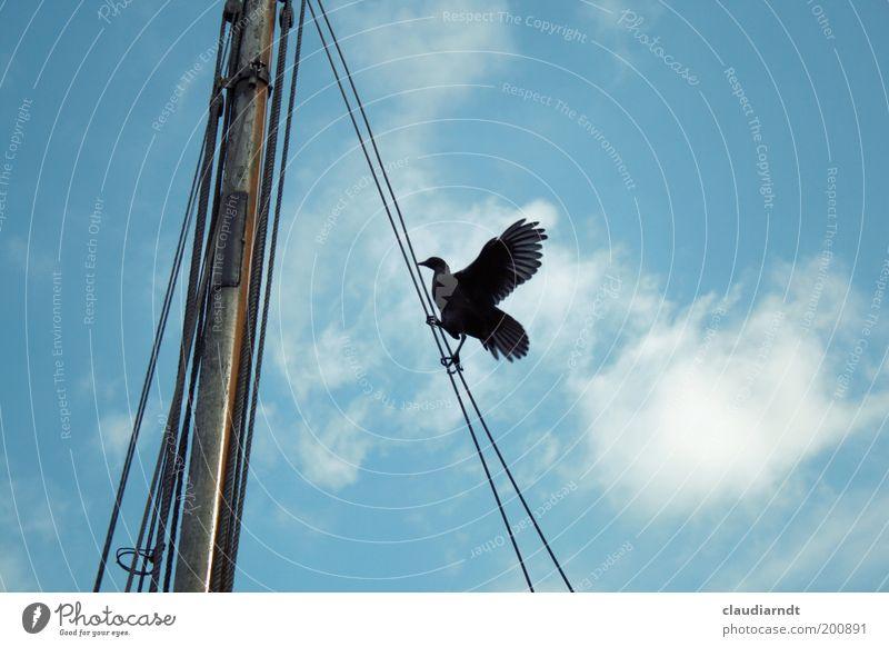 Aufstieg Wildtier Vogel Flügel Krallen 1 Tier Optimismus diszipliniert Klettern aufsteigen Segelboot Mast Seil Takelage Mut Himmel schwarz oben hoch