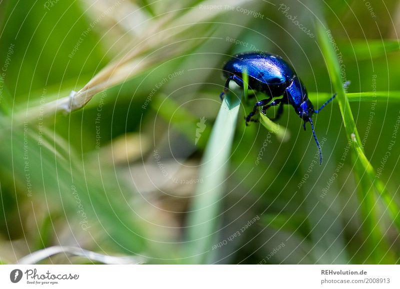 a bugs life Umwelt Natur Gras Garten Wiese Tier Wildtier Käfer 1 krabbeln klein natürlich blau grün unterwegs Halm Fühler Frühling Farbfoto Außenaufnahme