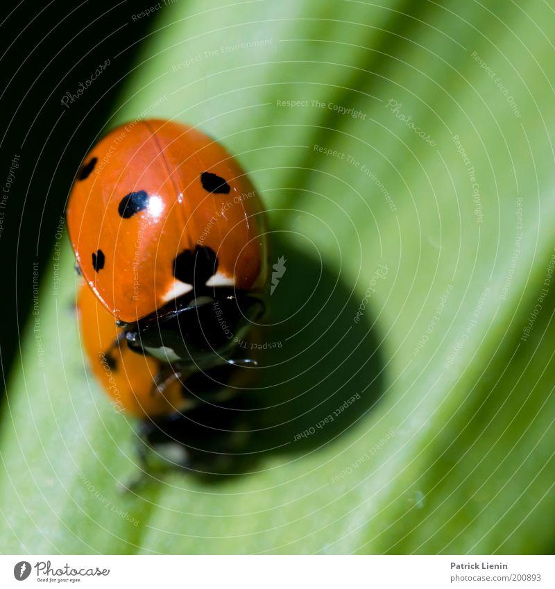 Ich mag Dich! Tier Marienkäfer Blatt Punkt rot Garten Wiese Natur Umwelt Käfer Paar Frühling Frühlingsgefühle tierisch schwarz klein aufeinander Farbfoto