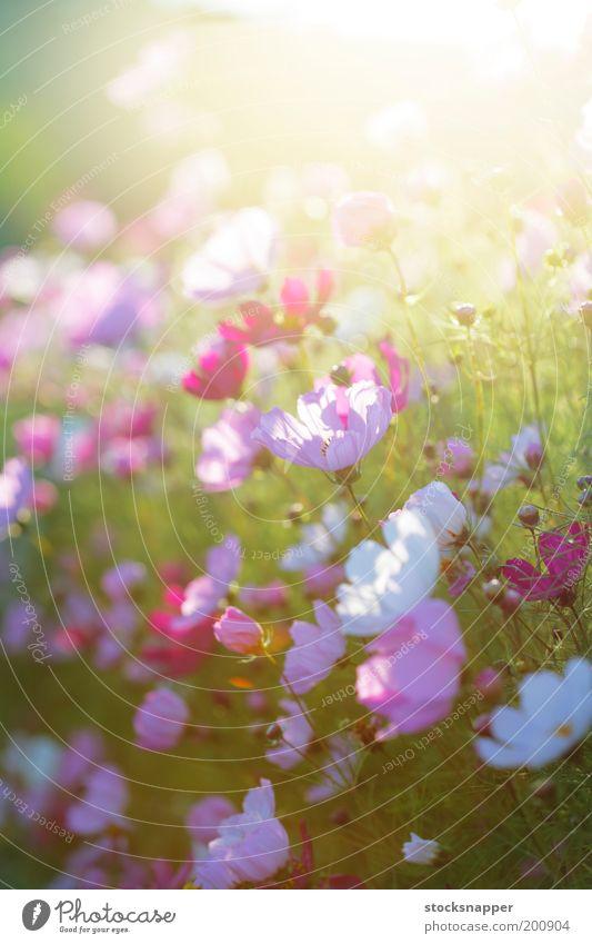 Sommerblumen Blume Licht Abend Sonnenlicht