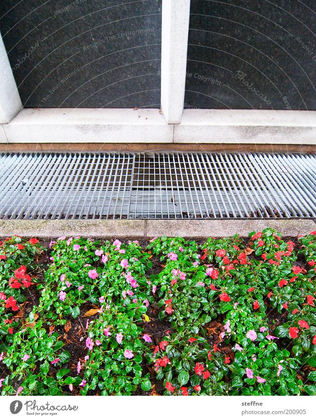 grünrosaROTE BEETE Pflanze Blume Fassade schön Beet Stiefmütterchen Gitter Farbfoto Außenaufnahme Tag Vorgarten Garten Lüftungsschacht