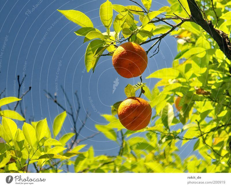 Süße Früchtchen Frucht Orange Natur Pflanze Schönes Wetter Baum Garten Duft frisch Gesundheit gut rund grün schön Farbe hellgrün Blauer Himmel Mandarine Spanien