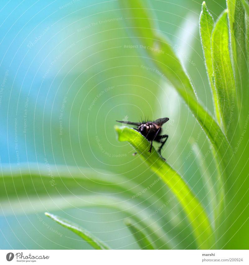 Fliegenpo Natur grün blau Pflanze Sommer Tier Wiese Frühling Garten klein Fliege sitzen Hinterteil Abheben Perspektive