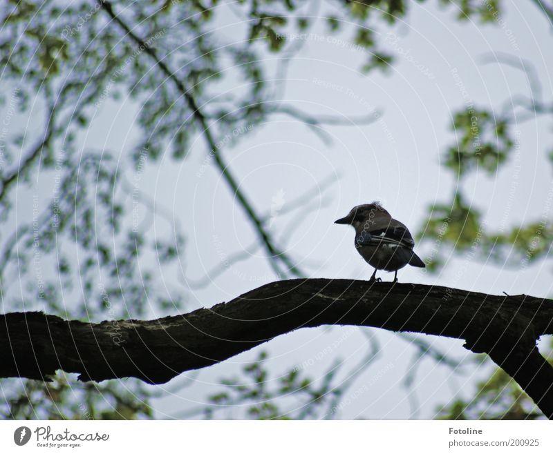Eichelhähr Umwelt Natur Pflanze Tier Himmel Frühling Baum Garten Park Wildtier Vogel Flügel 1 frei schön Eichelhäher warten Ast Zweige u. Äste Farbfoto