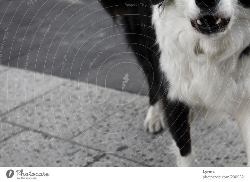 Graustufen Tier Haustier Hund Fell Pfote 1 Stein Beton Kommunizieren stehen Aggression rebellisch verrückt Wut schwarz weiß Gefühle Tierliebe Angst Stress