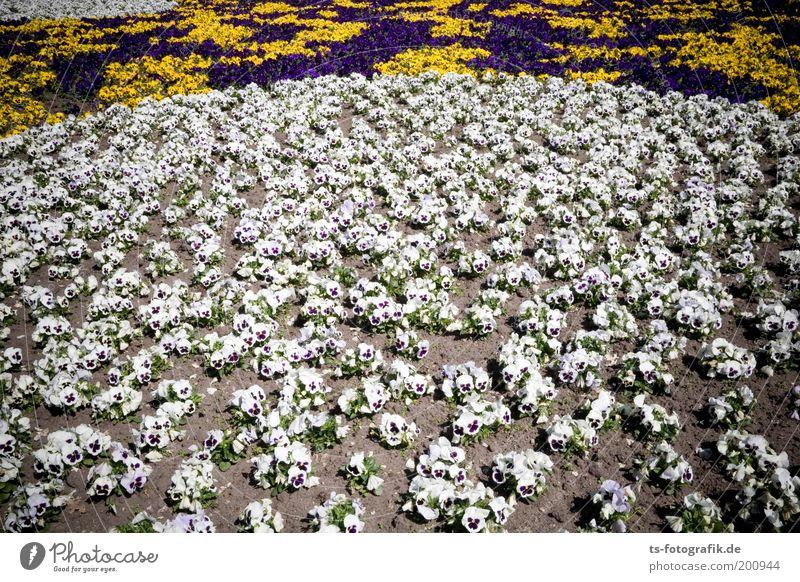 Die Entscheidungsschlacht Wohlgefühl Zufriedenheit Duft Garten Pflanze Erde Sand Frühling Sommer Blume Stiefmütterchen Blumenbeet Gärtnerei Beet violett weiß