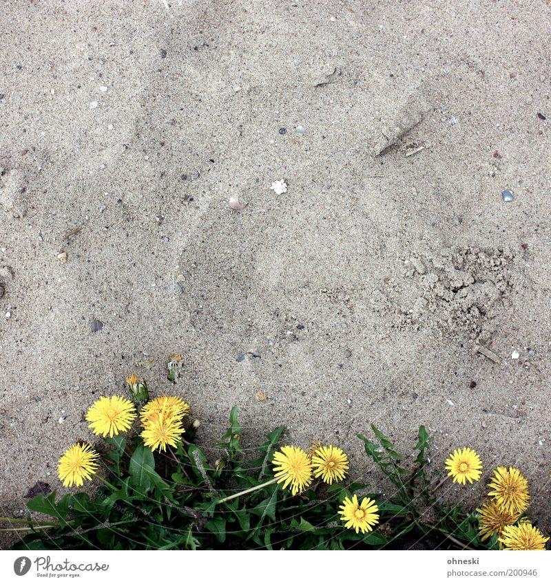 Unverwüstlich Natur Blume Pflanze Strand Blatt Blüte Sand Kraft Umwelt Wachstum Löwenzahn trocken Ausdauer Willensstärke Tatkraft Wildpflanze