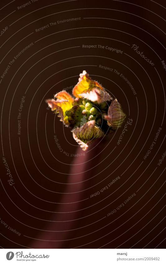 Frühlingserwachen im ersten Sonnenlicht Natur Pflanze Blatt ruhig dunkel Leben außergewöhnlich Zusammensein Wachstum elegant Kraft Erfolg authentisch Sträucher