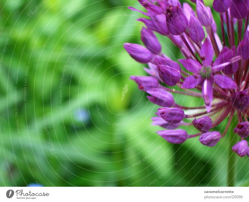 flowers_01 Blume grün Blüte violett