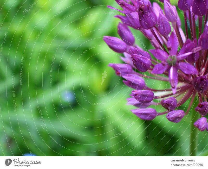 flowers_01 Blume grün violett Blüte Detailaufnahme Nahaufnahme