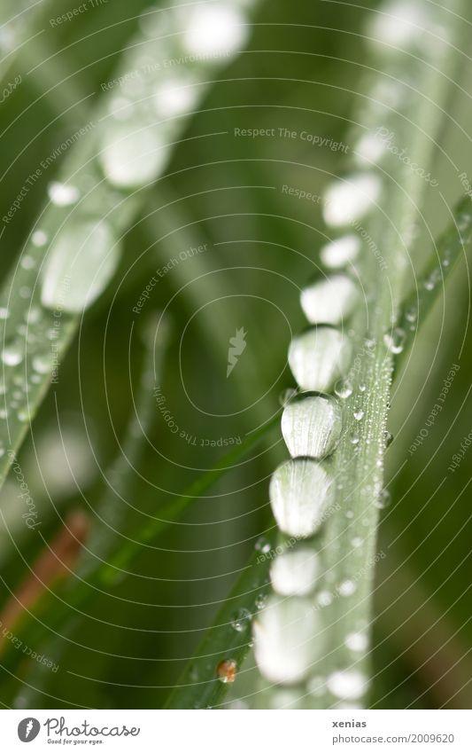 Grashalm mit Wassertropfen Sommer grün ruhig Herbst Frühling Wiese rund Tropfen Halm Reihe friedlich