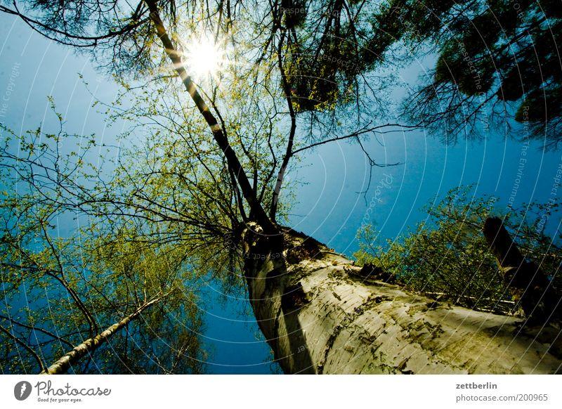 Wald Himmel Natur blau Baum Sonne Sommer Umwelt Frühling Baumstamm aufwärts Baumkrone Umweltschutz Textfreiraum Blauer Himmel Geäst
