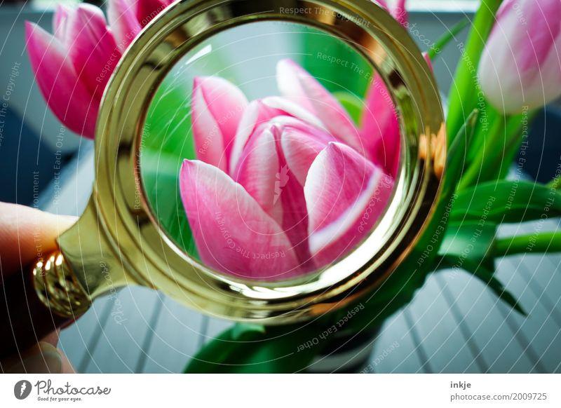 gesucht, gefunden. Frühling. Natur schön Blume Blüte Gefühle Stimmung rosa frisch Blühend beobachten Neugier entdecken Blumenstrauß Tulpe Interesse